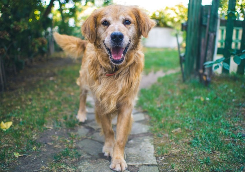CBD Dosage For Dogs - Guide to giving CBD to your pets for better health.