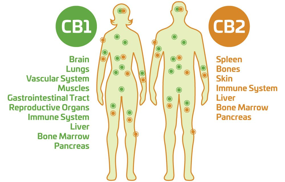Cannabinoid receptor locations in human body