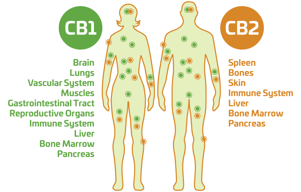Cannabinoid receptors in body systems